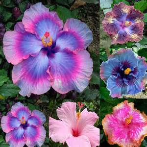 what color is hibiscus mix colors hibiscus seeds potted plant