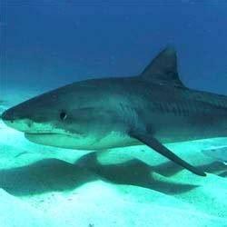Minyak Ikan Hpa manfaat squalene yang berasal dari hati ikan hiu