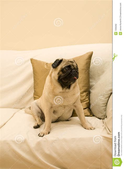 pug couch cute pug on sofa stock photography image 7335292
