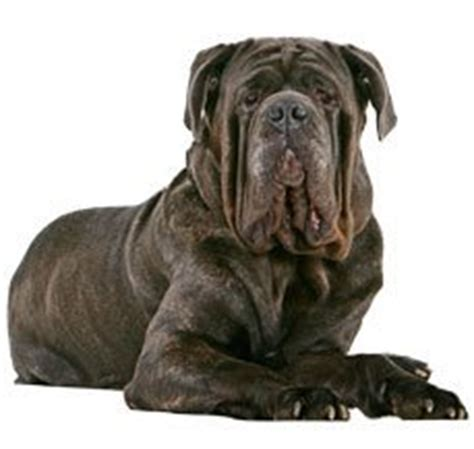 rottweiler vs german shepherd comparison compare neapolitan mastiff vs rottweiler difference between neapolitan mastiff and