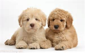 Toy goldendoodle two cute toy goldendoodle