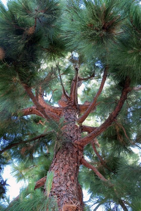 7 trees that look great in both the fall and the winter 25 best ideas about pine tree on tree photography tree id and live earth view