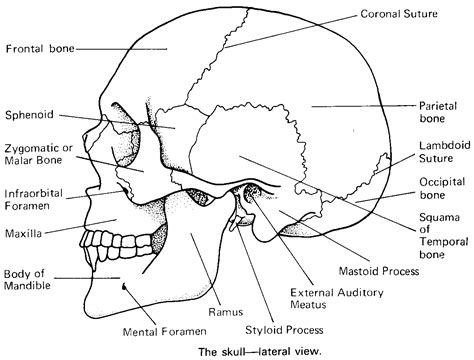 diagram of the skull cranial bones in detail flashcards by proprofs