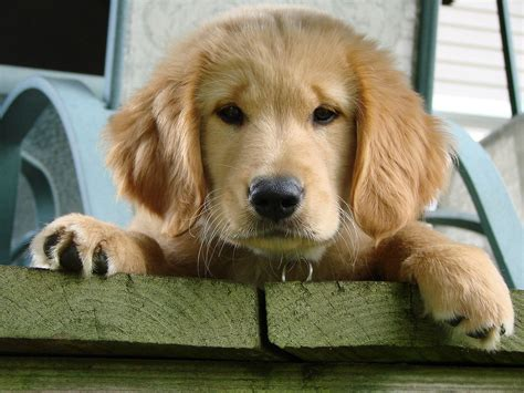 golden retriever puppy not file callie the golden retriever puppy jpg