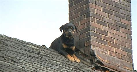 dog on roof man abandons rottweiler on roof dog adopted by fireman