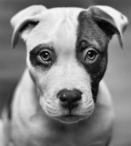 black and white puppies american animals black and white dogs image 455818 on favim