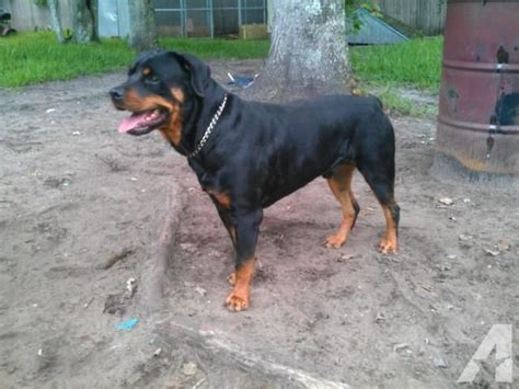 rottweiler puppies 5 weeks akc rottweiler puppies 5 weeks for sale in augustine florida classified