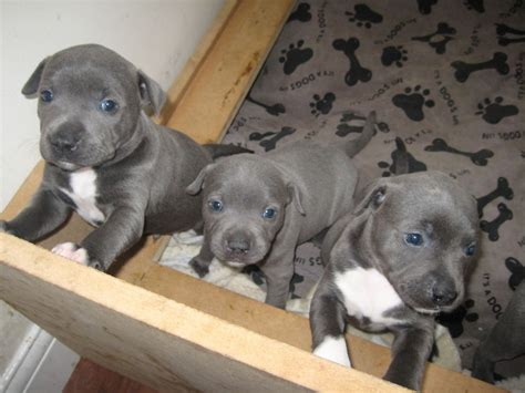 staffy puppies for sale blue staffy pups for sale kc registered 6 weeks whitby pets4homes