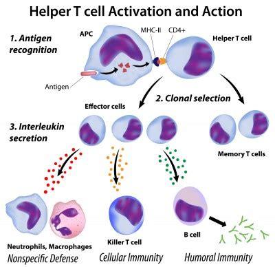 bone setter definition b cells function of b cells biology tutorvista com