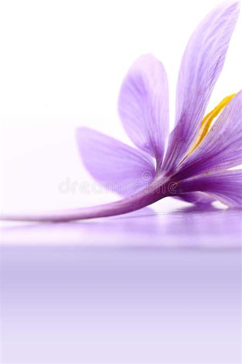 fiore dello zafferano chiuda su fiore dello zafferano fotografia stock