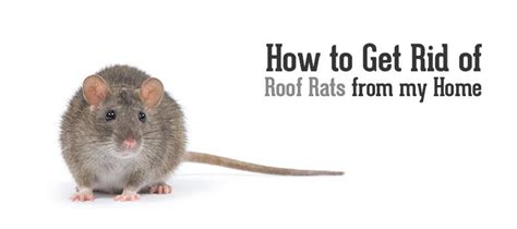 How To Get Rid Of Mice In Ceiling by How To Get Rid Of Roof Rats In Best Image