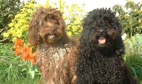 australian labradoodle dog breed information