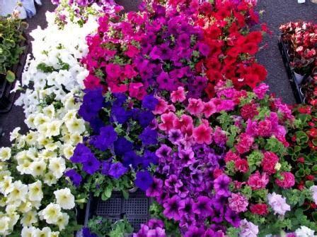 Pupuk Untuk Bunga Petunia tanaman untuk menghiasi tembok rumah rumah idolaku