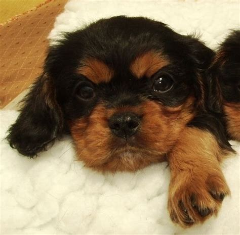 king charles cavalier puppies for sale mn cavalier king charles spaniel puppies for sale dogs for sale breeds picture