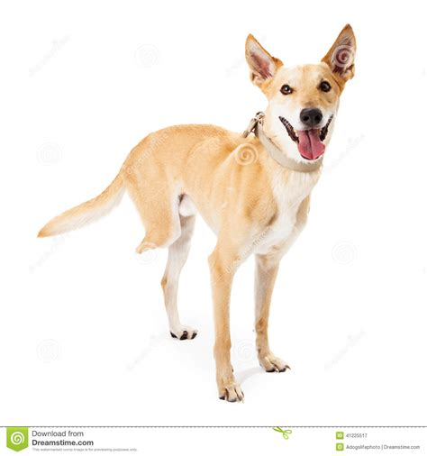 dogs with legs rescue missing back leg stock image image 41225517
