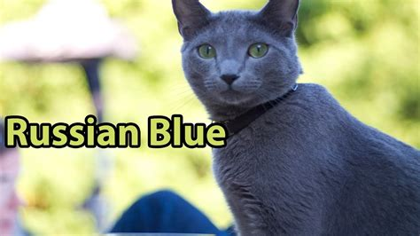 Blee Cat 2 ideal companion russian blue