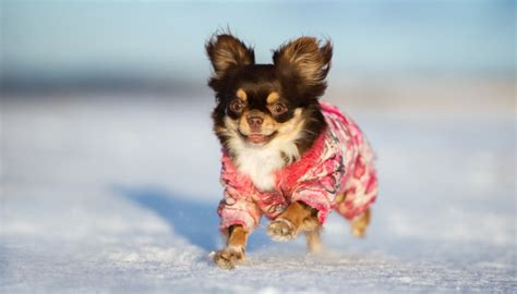 how to keep dogs warm in the winter 20 tips on how to keep dogs warm in the winter to avoid health issues