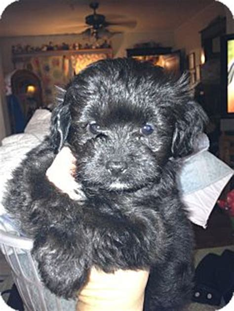 maries yorkies ct donny adopted puppy waterbury ct japanese chin poodle or tea cup mix