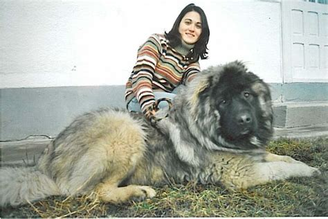 where to get a puppy if i had to get a a russian caucasian big i want one animals