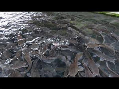 Pakan Ikan Lele Sangkuriang kasih pakan ikan lele sangkuriang di kolam tanah