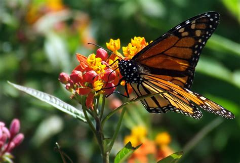 monarch butterfly monarch butterfly asclepias curassavica tropical