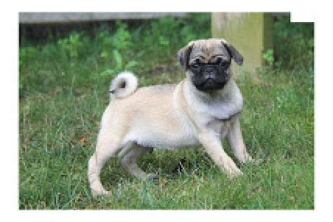 pugs for sale montana quality pugs for sale christmax gift offer