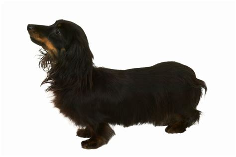 haired weenie how to groom a miniature haired dachshund pets