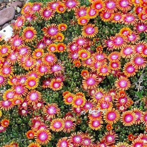 55 Best Coreopsis Images On Pinterest Rock Garden Plants Sun