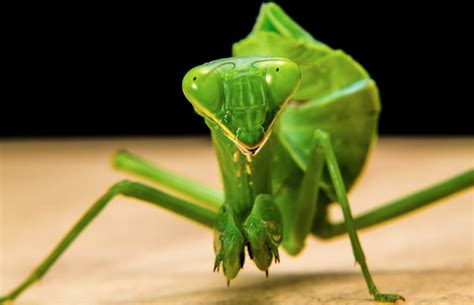 praying mantis for garden pest plant a seed see what grows foundationkids guide to