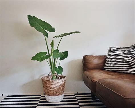 25 best ideas about elephant ear plant on pinterest elephant plant alocasia plant and palm