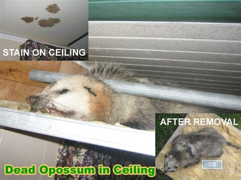 how to get rid of a possum in backyard how to kill possums with poison