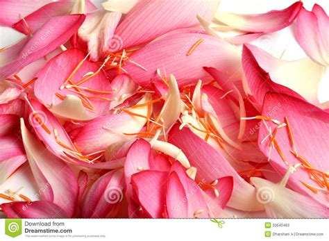 lotus flower petals lotus flower petals stock photos image 33640483