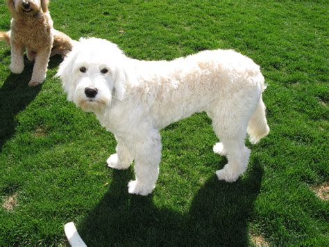 labradoodle haircut pictures labradoodle haircut photos hairstylegalleries com