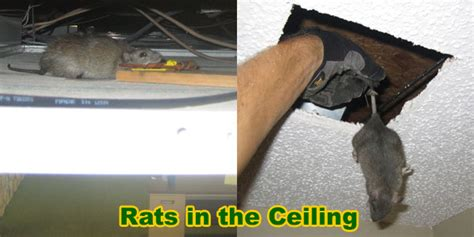 How To Get Rid Of Mice In Ceiling by How To Remove And Get Rid Of Rats In The Ceiling