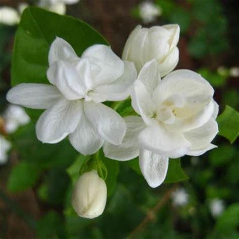 Flower Bunga gambar bunga melati putih tercantik flower my