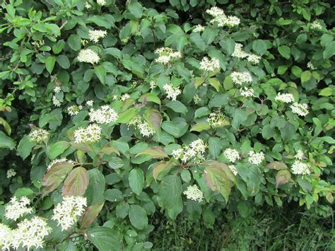 common flowering shrubs common dogwood cornus sanguinea 171 chew valley trees