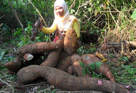 Jual Bibit Wortel Dataran Rendah budidaya tanaman singkong gajah petani hebat