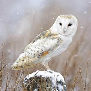 Barn owl the ethical shop