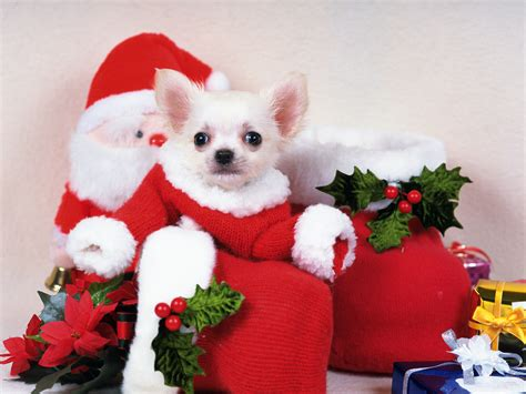 santa puppies santa puppy wallpapers and images wallpapers pictures photos