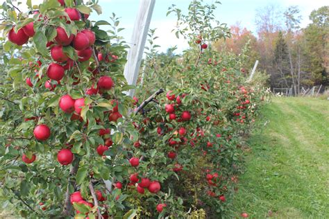 apple england fall foliage in new england orchards new england apples