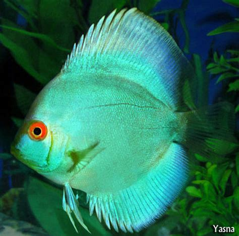 freshwater fish most beautiful freshwater fish all time