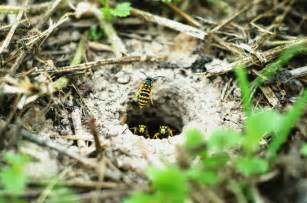 Mosquito Backyard Control The Yellow Jackets Nest Greetings From Pipeline Road 7