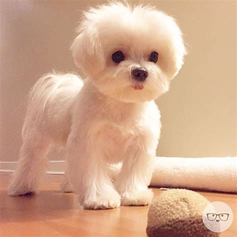 maltipoo haircuts grooming instagram photo by milomeetsworld via ink361 com