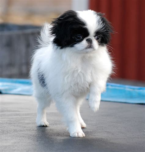 japanese chins japanese chin puppies japanese chin breed guide learn about the japanese chin