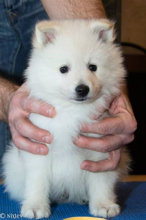 german spitz puppies for sale german spitz mittel puppy available middlesbrough pets4homes