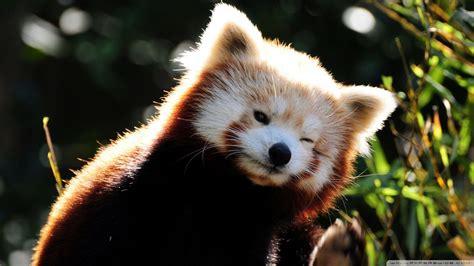 wallpaper panda red panda backgrounds wallpaper cave