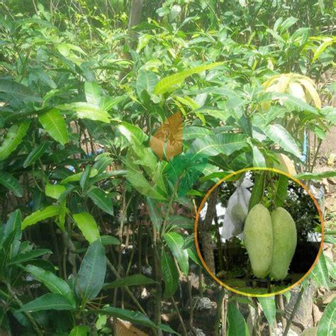 Tanaman Mangga Kio 60 Cm jual bibit mangga golek sambung 60 cm agro bibit id