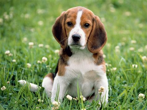 puppy beagle puppy beagle dogs puppies names breeds and grooming