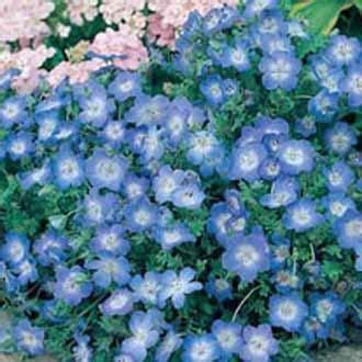 Bibit Benih Seeds Bunga Five Spot Flower Nemophila Maculat T2909 nemophila baby blue