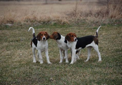 treeing walker coonhound puppies treeing walker coonhound puppies www pixshark images galleries with a bite